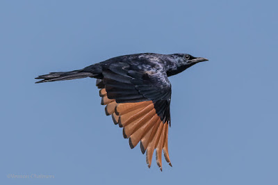 Red-Winged Starling in Flight - Woodbridge Island