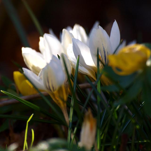 Blomstrende have i marts