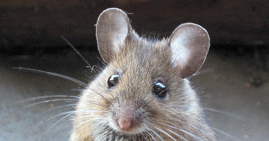 5 Signs of a Mouse Infestation