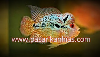 Type Ikan Hias Louhan indonesia Golden Base