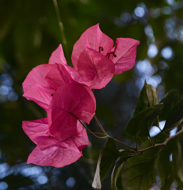 Bougainville, Philippines, pink,beauty