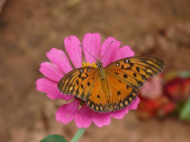 As Zínias englobam 19 espécies de ervas anuais ou arbustos.  São nativas das áreas que se estendem desde a América do Norte até à América do Sul, com um centro de maior diversidade no México.