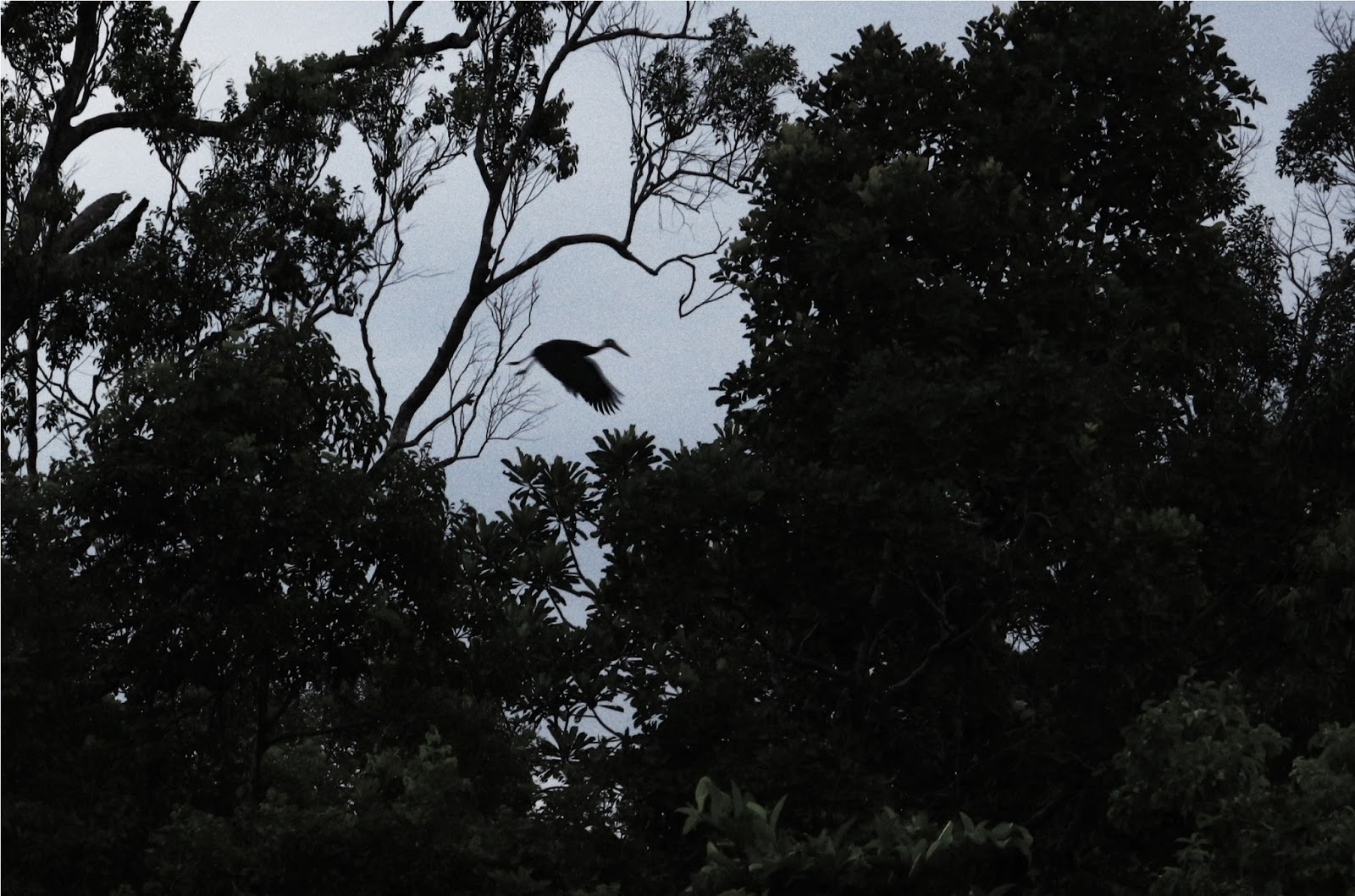 Bayangan burung Stork (Sandang Lawe) yang termasuk terlangka di dunia