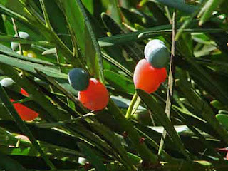 Emu Berry Fruit Pictures