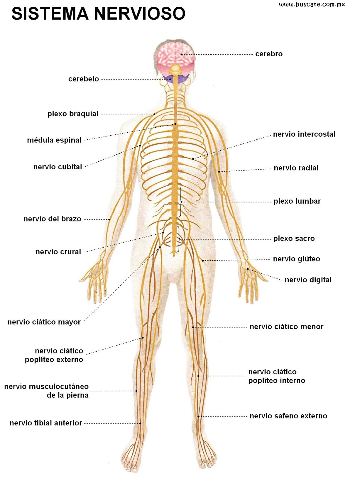 GENERALIDADES DEL SISTEMA NERVIOSO EN HUMANOS | Sistema nervioso