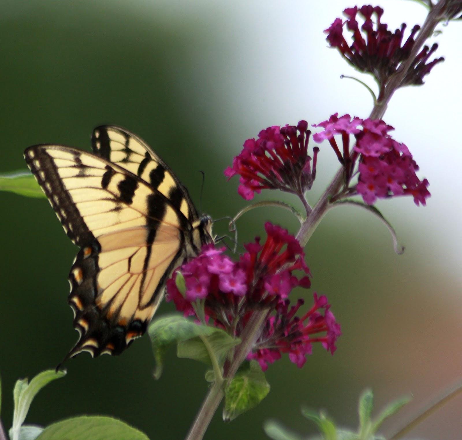 Butterflies Archives Grateful Prayer Thankful Heart