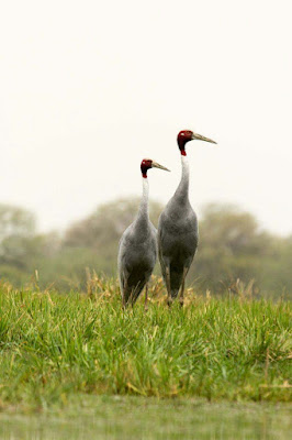stork-birds-couple-wandering-in-the-green-grass