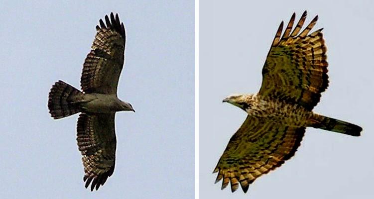 16 Jenis Burung Elang Di Pulau Jawa