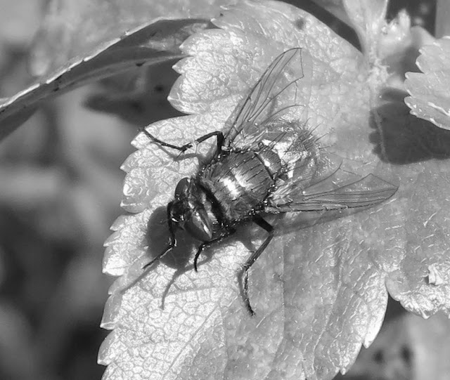 Fly on alexanders leaf in black and white