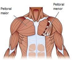 Hipertrofia Muscular - Anatomia Peitoral