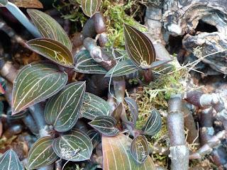 Orchidée bijou - Ludisia discolor