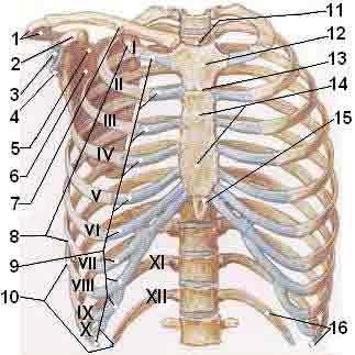 Os sistemas do corpo humano sistema sseo for Esterno e um osso irregular
