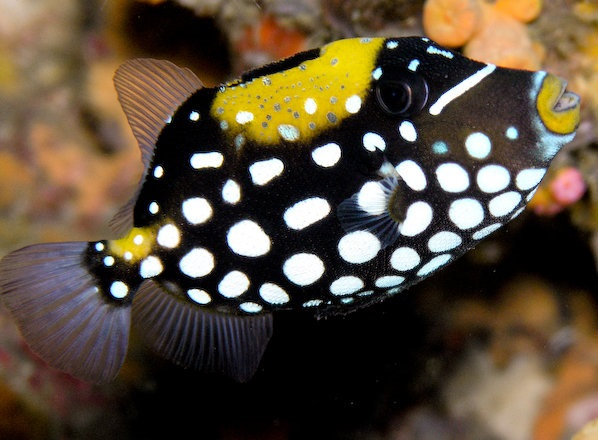 Peixe Palhaço | Clown Triggerfish