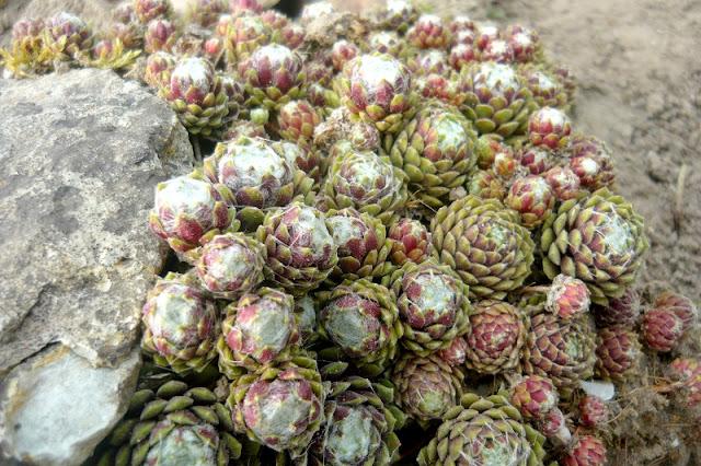 Rośliny na skalniaki