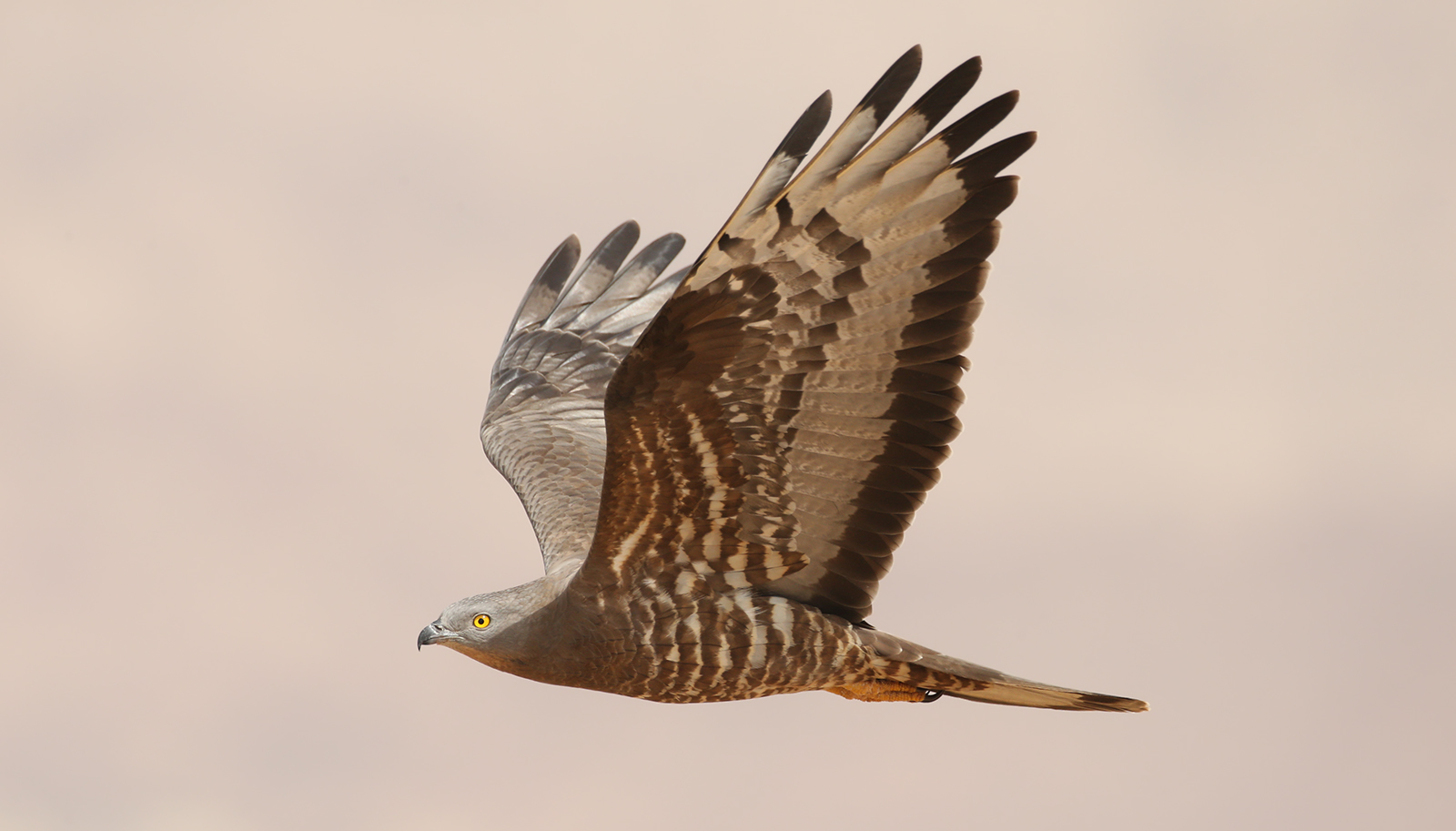 Honey Buzzards - Israel 2019