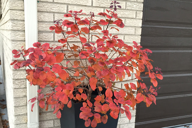 Winecraft Black Cotinus from Proven Winners ColorChoice