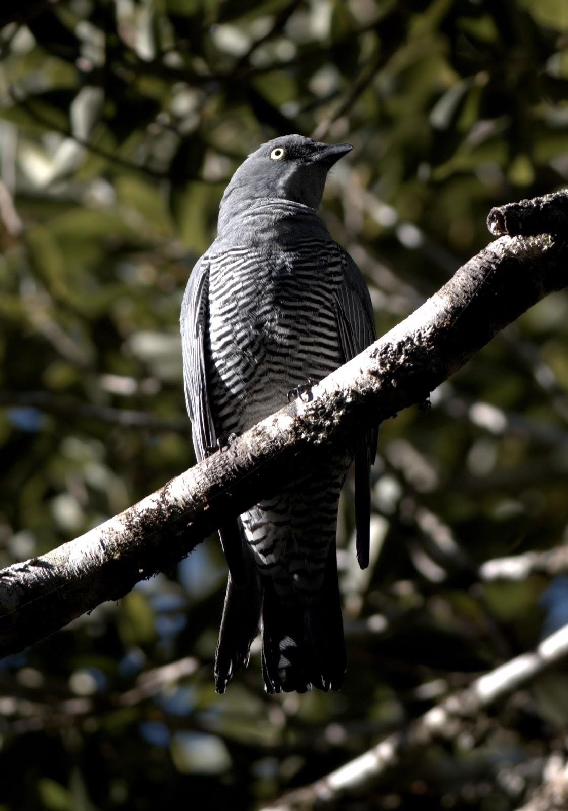 sunshinecoastbirds: Queensland Road Trip 6: Malanda ...