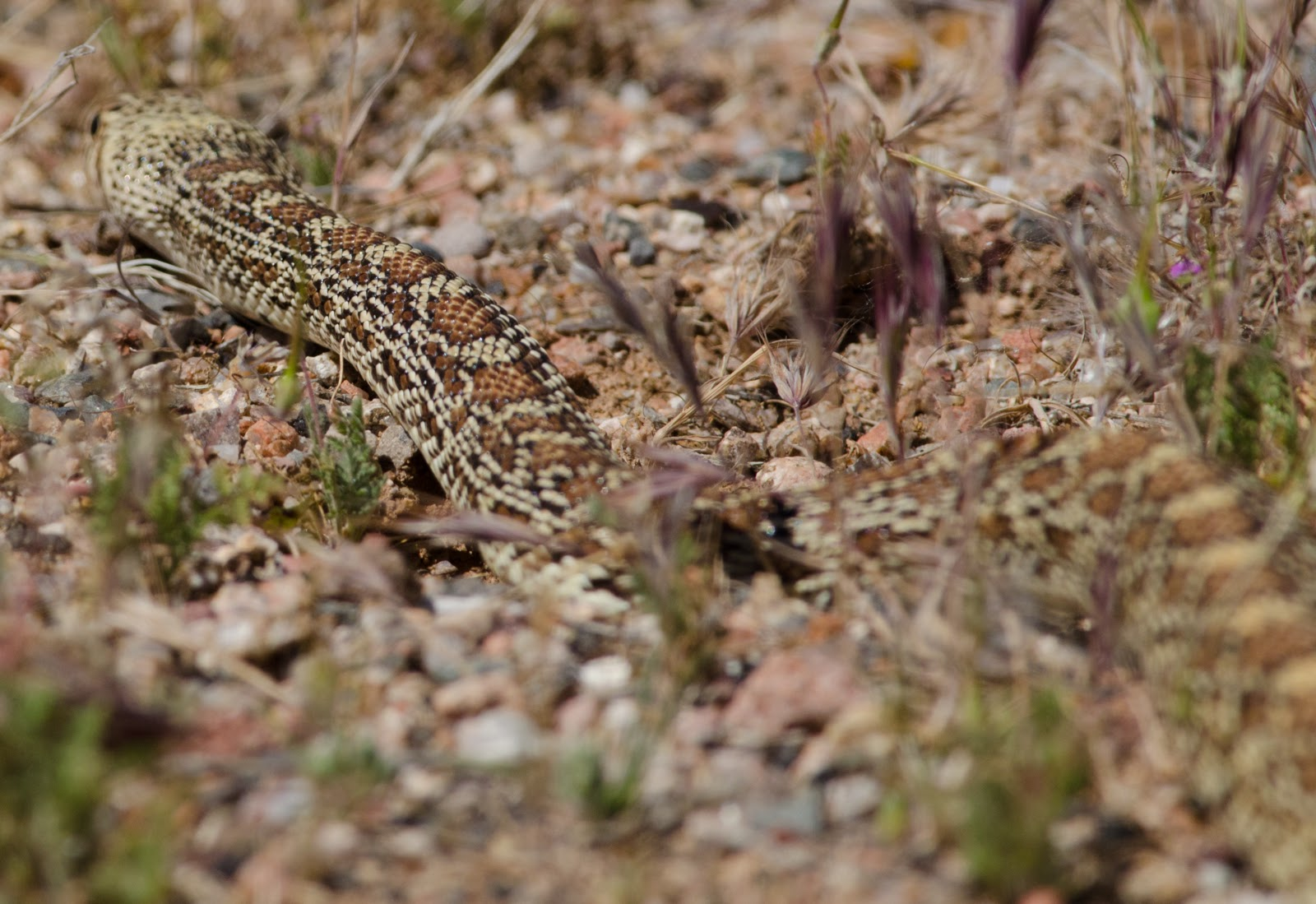 Gophersnake As It Slithers Away