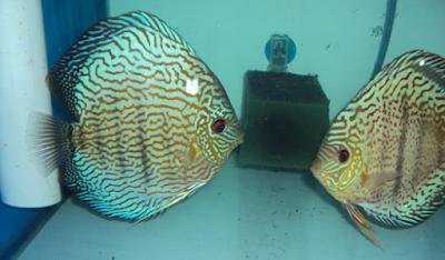 Cara Cara Membedakan Ikan Discus Jantan Dan Betina