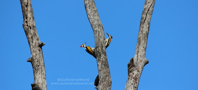 Woodpeckers Caught In Action - Bandhavgarh National Park