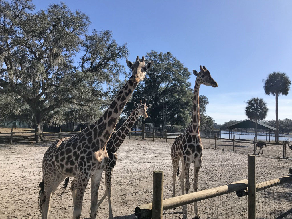 giraffe ranch6