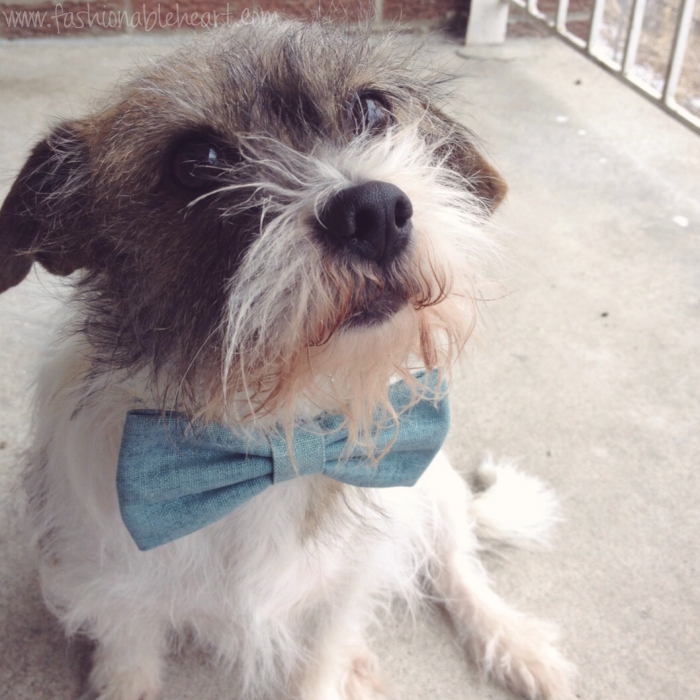 border terrier mix indy adopt not shop rescue bowtie dog