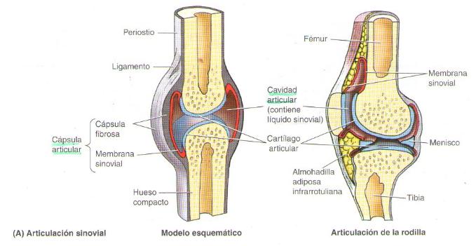movimientos angulares de las articulaciones sinoviales