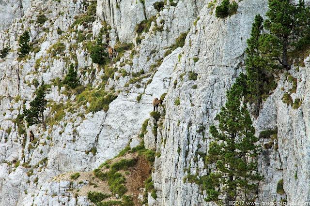 Bouquetins sur les pentes du Mont Aiguille au départ de la voie normale