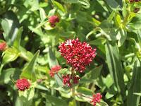 flor de valeriana planta medicinal