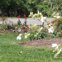 Red tulips, variety of garden flowers in the background with a flowering dogwood in front.