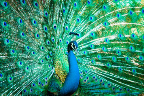 55 Gambar Burung Merak Tercantik Di Dunia HD Terbaru