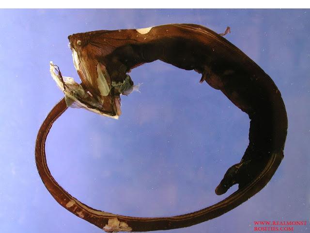 Gulper Eel Adalah Jenis Ikan Laut Dalam Paling Menyeramkan, Predator Dan Unik