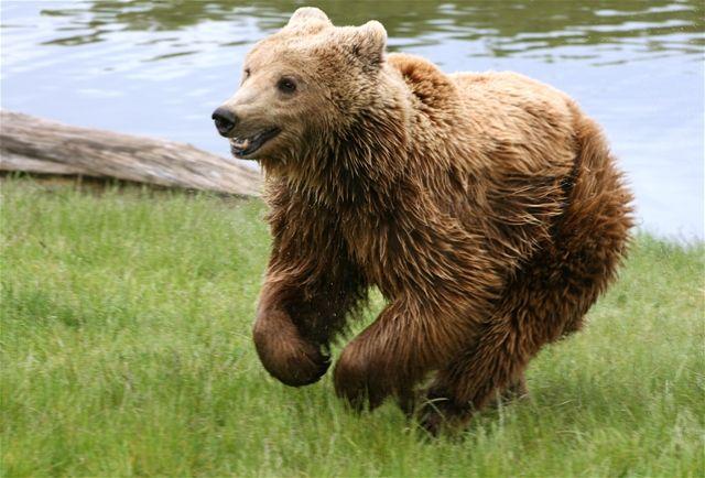 List of mammals of Russia - Wikipedia |Native Animals From Russia