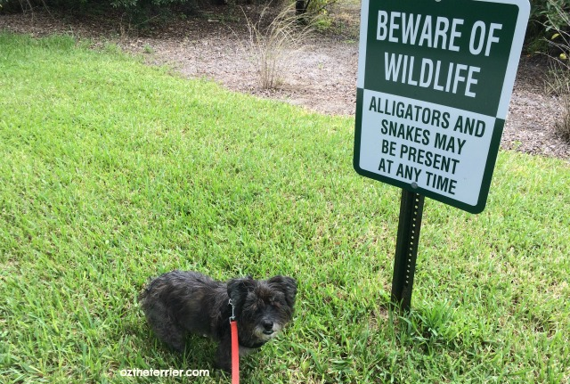 sign of the times in florida - beware of alligators