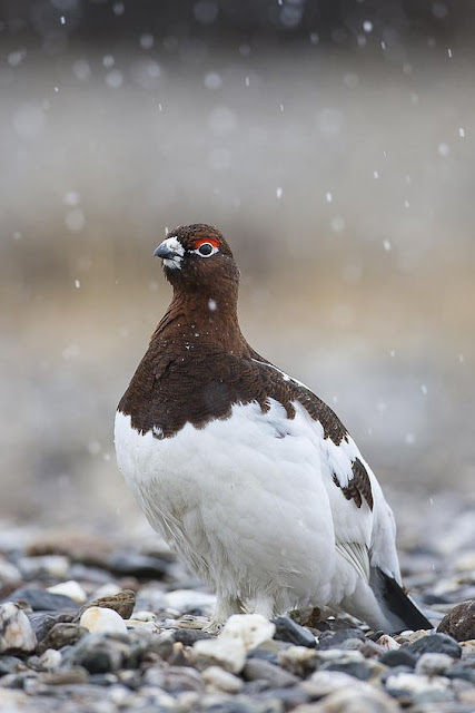 Lagopus Lagopus (Willow Grouse, also: Willow Ptarmigan)