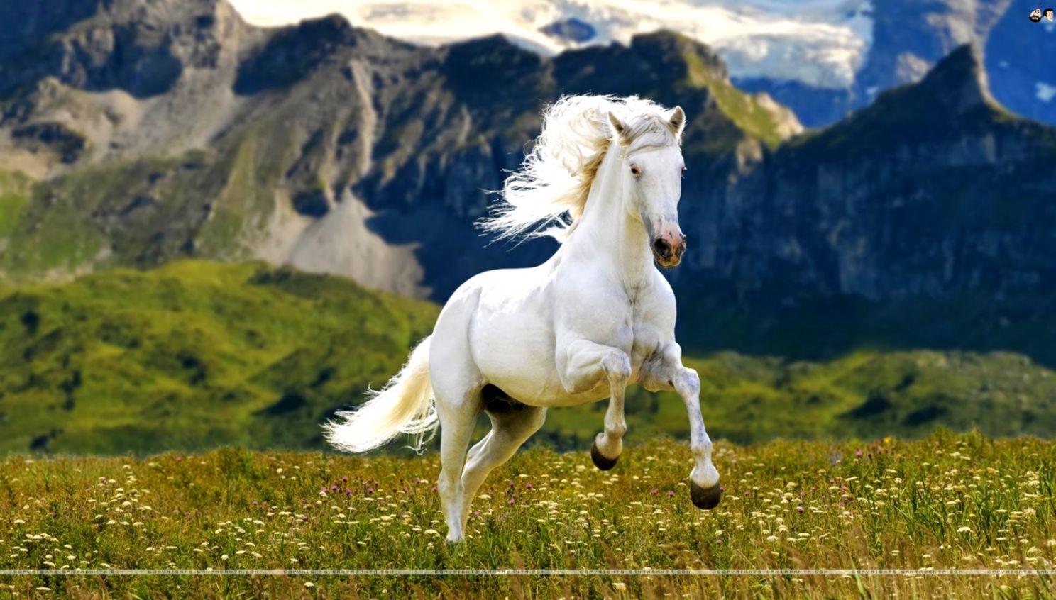 White Running Horse Wallpaper Amazing Wallpaper Hd Library
