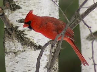 Cardinal rouge - Cardinalis cardinalis