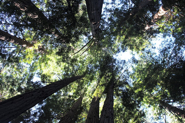 Muir Woods, San Francisco - California travel blog