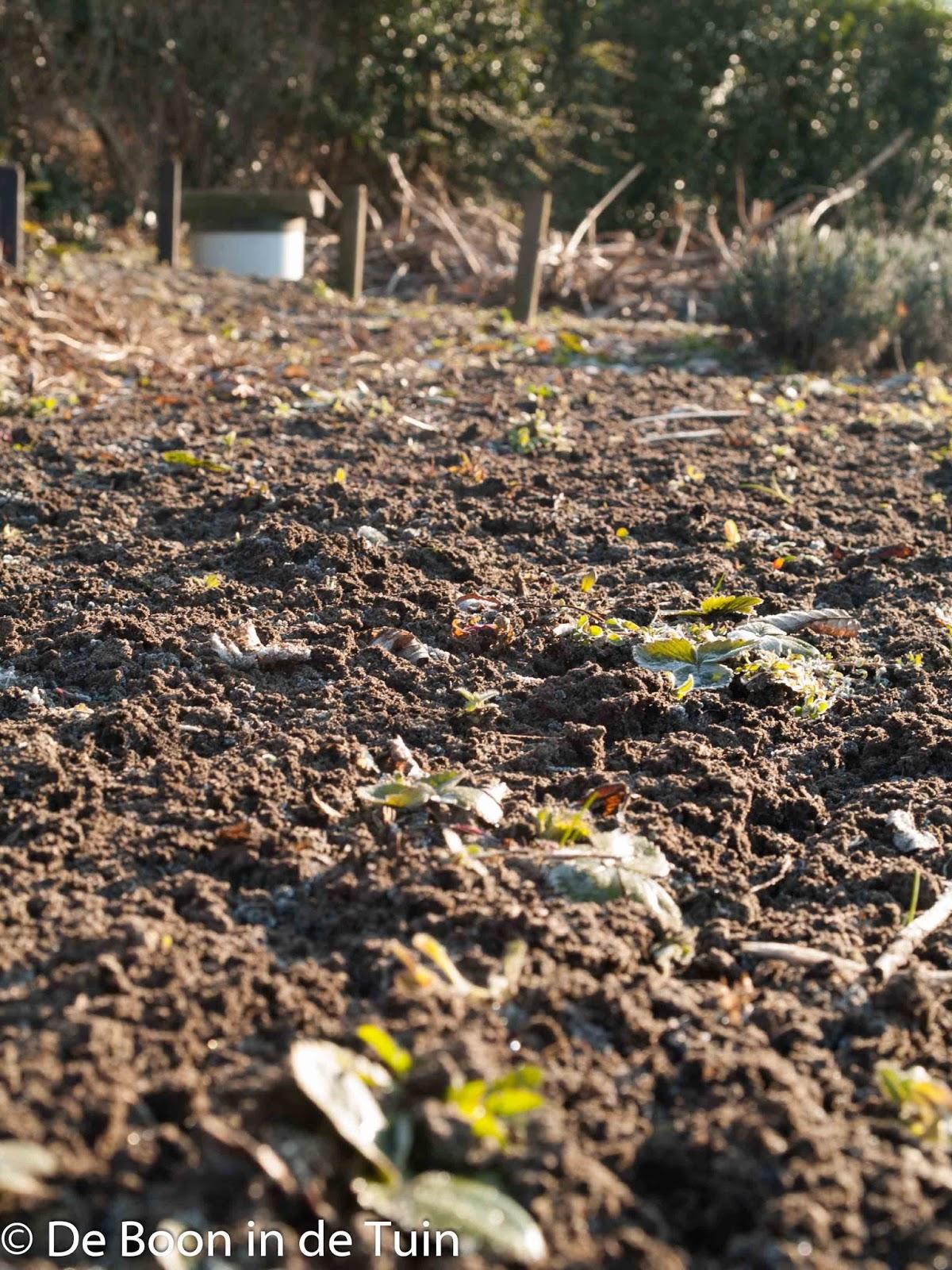 aardbeien moestuin winter volkstuin