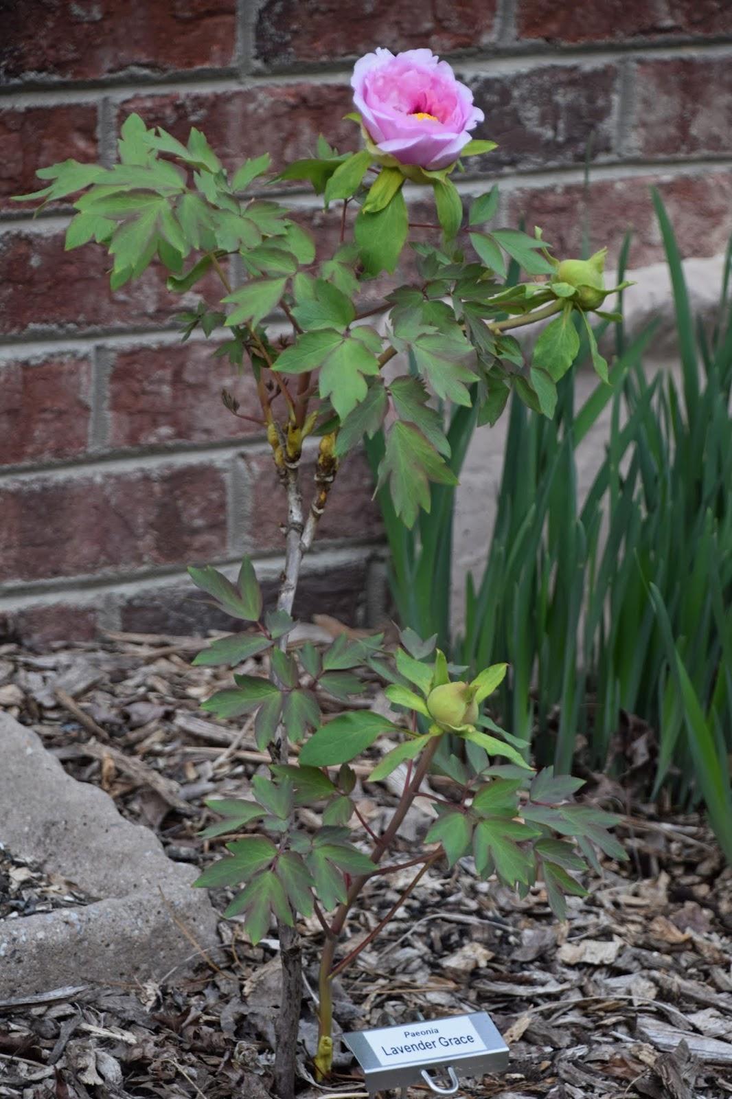Southern Peony 2019 Second Peony Bloom Of The Season Tree Peony