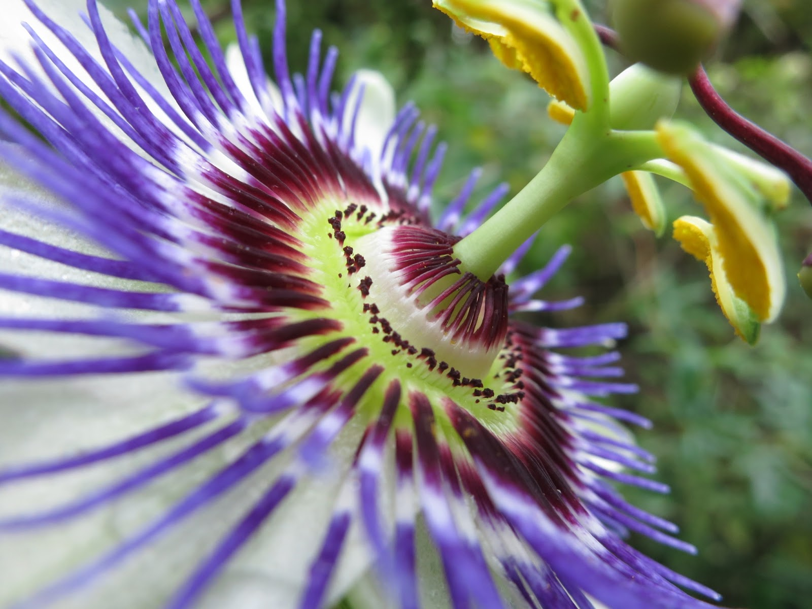 Close up of blue and purple passion flower
