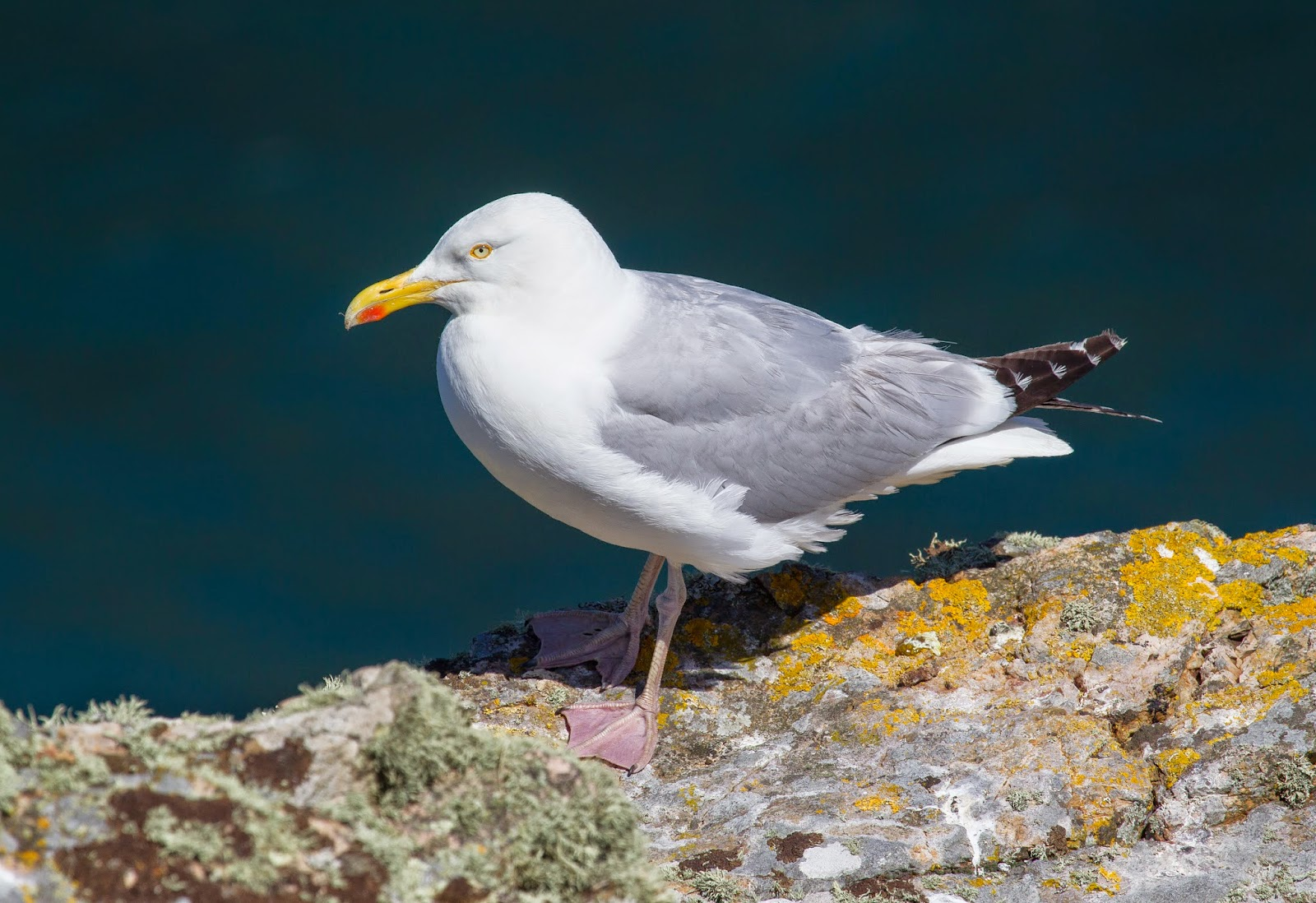 Adult Herring Gull - Skomer - Simon Colenutt