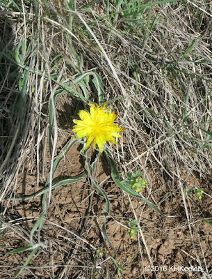 wavy-leaved dandelion, Nothocalais cuspidata