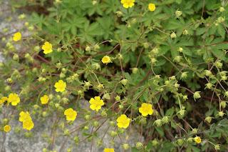 Potentille à feuilles à sept folioles - Potentilla heptaphylla