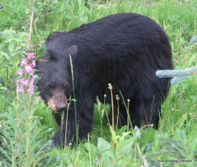 Black bear, Medicine Lake, Jasper