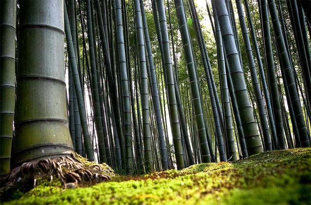 Arashiyama Bölgesi, Kyoto Japonya'da bir bambu ormanı