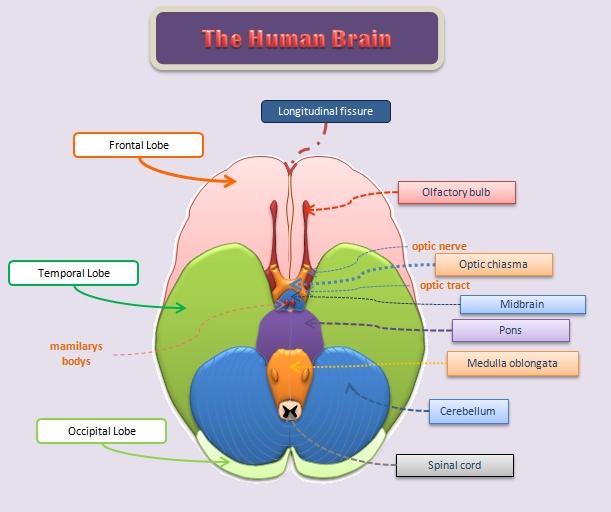 Educative diagrams: The Underside of the Human Brain