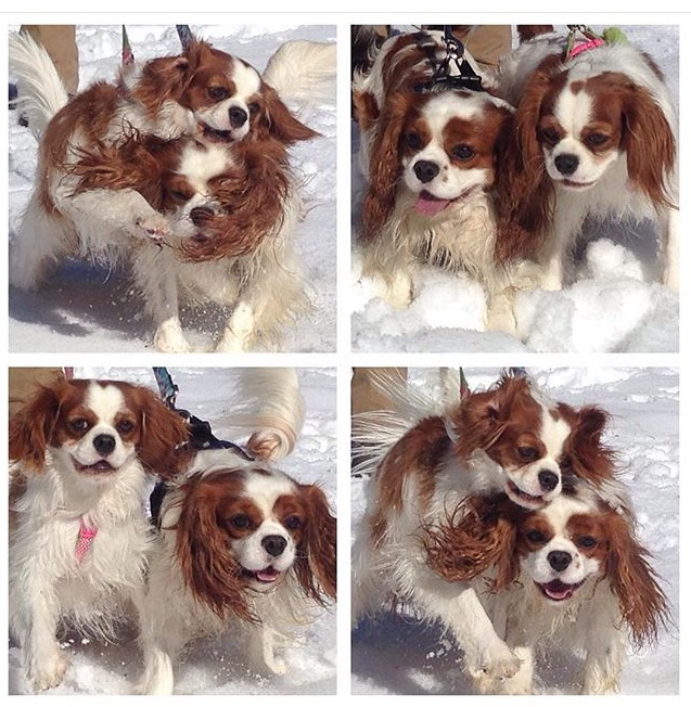 Blenheim Cavalier King Charles Spaniels playing in the snow