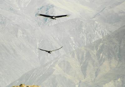 Condors boven de Colca Canyon