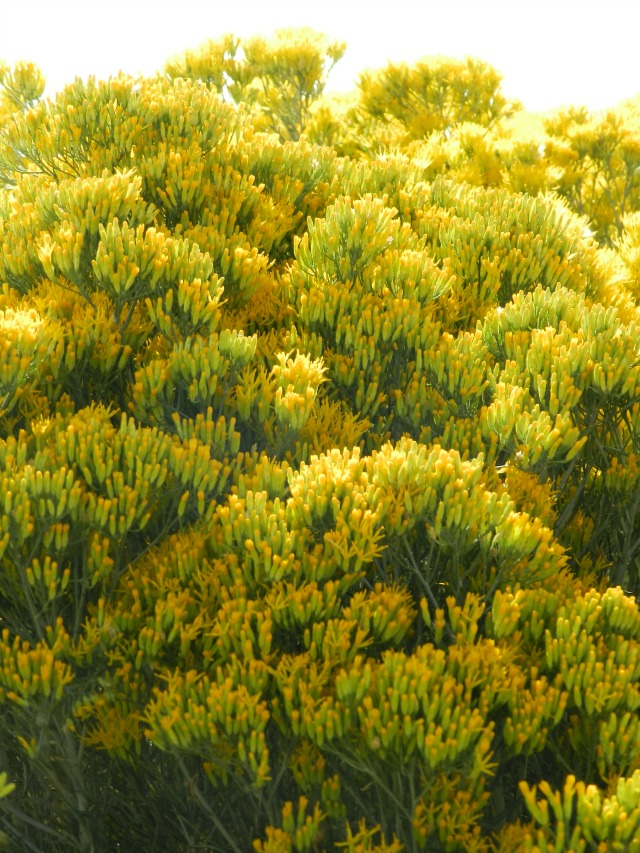 yellow rabbitbrush